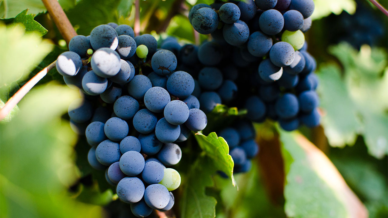 Най-популярните червени сортове грозде – WineBooking by Katarzyna Estate